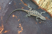 : Urosaurus nigricaudus; Baja California Brush Lizard