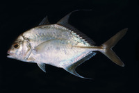 Carangoides dinema, Shadow trevally: fisheries, gamefish