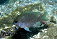 Chromis scotti, Purple reeffish: aquarium