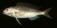Nemipterus mesoprion, Mauvelip threadfin bream: fisheries