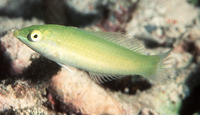 Halichoeres chloropterus, Pastel-green wrasse: fisheries, aquarium