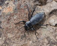 Image of: Tenebrionidae (darkling beetles)