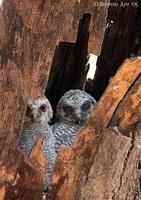 Image of: Strix ocellata (mottled wood owl)