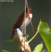 Pale-headed Munia - Lonchura pallida