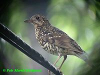 Amami Thrush - Zoothera major