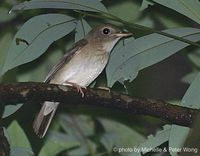 Brown-chested Jungle Flycatcher - Rhinomyias brunneatus