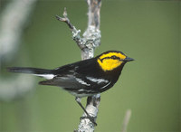 Golden-cheeked Warbler (Dendroica chrysoparia) photo