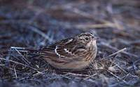 Smith's Longspur (Calcarius pictus) photo