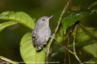 Plain-throated Antwren - Myrmotherula hauxwelli