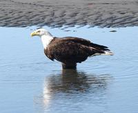 Bald Eagle in Water