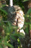 Great Potoo (Nyctibius grandis