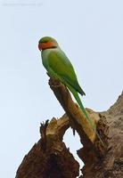 Long-tailed-Parakeet