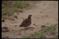 : Pterocles decoratus; Black-faced Sandgrouse