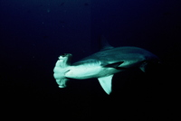 : Sphyrna lewini; Scalloped Hammerhead Shark