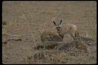 : Otocycon megalotis; Bat-eared Fox