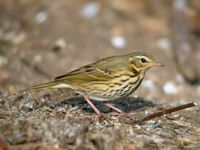 힝둥새 Anthus hodgsoni | Indian tree pipit