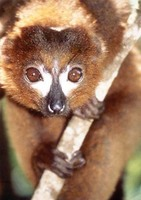 photograph of a red-bellied lemur : Eulemur rubriventer