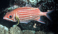 Sargocentron diadema, Crown squirrelfish: fisheries, aquarium