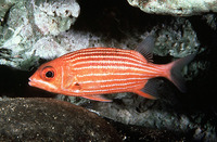 Sargocentron xantherythrum, Hawaiian squirrelfish: aquarium