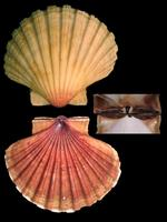 Pecten jacobaeus - great scallop