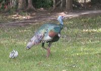 Image of: Meleagris ocellata (ocellated turkey)