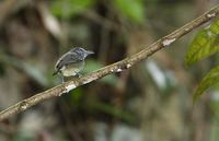 Spot-crowned Antvireo (Dysithamnus stictothorax) photo