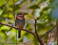 Spotted Kingfisher - Actenoides lindsayi