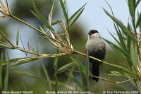 Black-headed Waxbill - Estrilda atricapilla