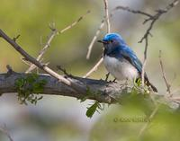 Blue-and-white flycatcher C20D 02787.jpg