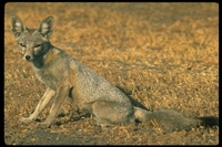 : Vulpes macrotis; Kit Fox