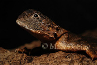 : Agama armata; Tropical Spiny Agama