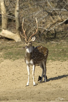 Axis axis  Chital [male] photo