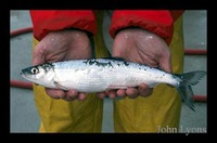 Coregonus artedi, Cisco: fisheries, gamefish