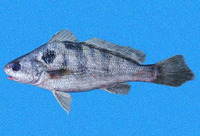 Paralonchurus rathbuni, Bearded banded croaker: fisheries