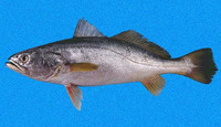 Cynoscion albus, Whitefin weakfish: fisheries