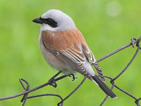 Lanius collurio - Red-backed Shrike