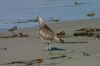 Image of: Numenius phaeopus (whimbrel)