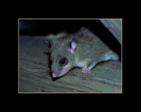 Glis glis - Edible Dormouse
