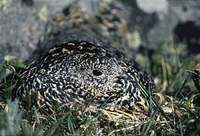 White-tailed Ptarmigan (Lagopus leucurus) photo