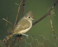 Oak Titmouse (Baeolophus inornatus) photo