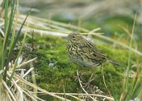 South Georgia Pipit (Anthus antarcticus) photo