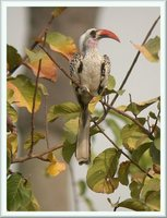 Red-billed Hornbill - Tockus erythrorhynchus