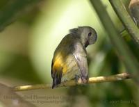 Orange-bellied Flowerpecker (female)