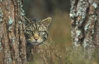 Scottish Wildcat  (Felis sylvestris grampia)