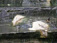 Thrushes bathing