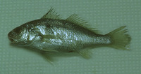 Ctenosciaena gracilicirrhus, Barbel drum: fisheries, bait