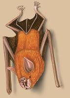 Image of: Rhinonicteris aurantia (orange leaf-nosed bat)