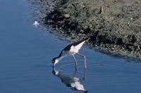 Himantopus himantopus mexicanus - Black-necked Stilt