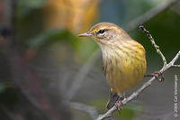 Image of: Dendroica palmarum (palm warbler)