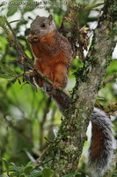 Sciurus variegatoides - Variegated Squirrel